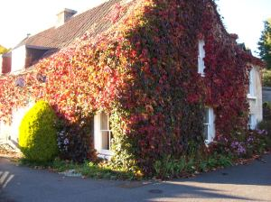 Virginia creeper in the Autumn
